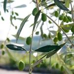 Оливковые рощи возле Negrar