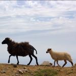 Пугливые стада