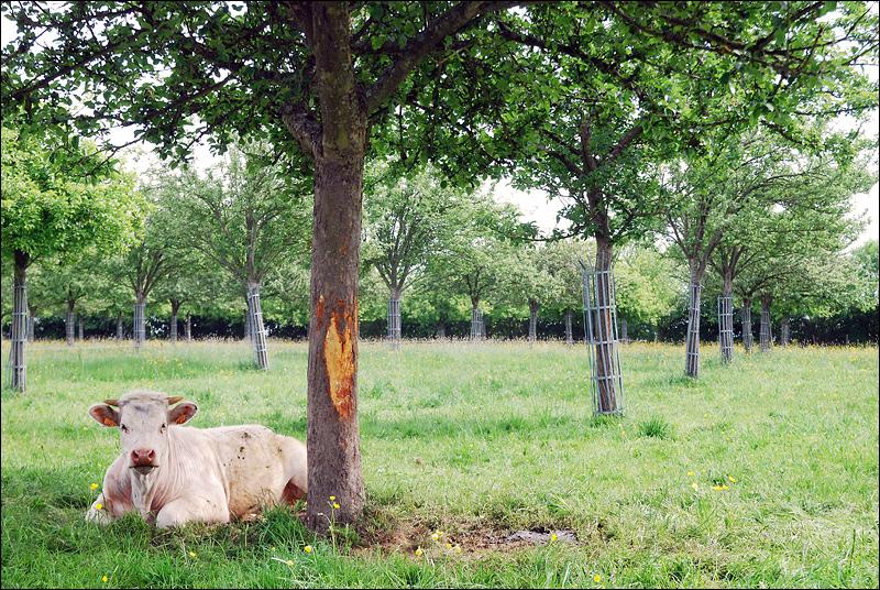 Для нормандского камамбера коровы должны пастить под сидровыми яблонями