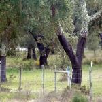 Пробковый дуб в Грандоле