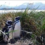 Ушуайа. Пингвины