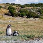 Летнее гнездовье пингвинов на островах Огненной земли