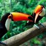 Парк птиц. Туканы